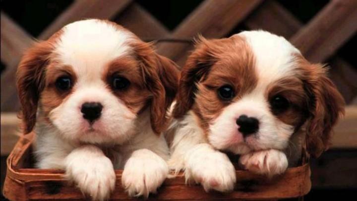 cute-puppy-wallpaper--1920x1080